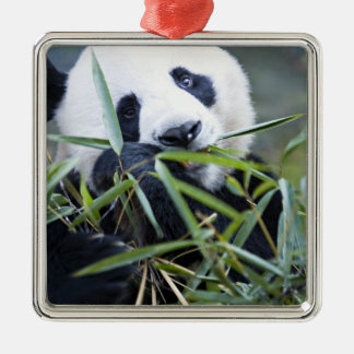 Panda eating bamboo shoots Alluropoda Silver-Colored Square Decoration