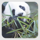 Panda eating bamboo shoots Alluropoda Square Sticker