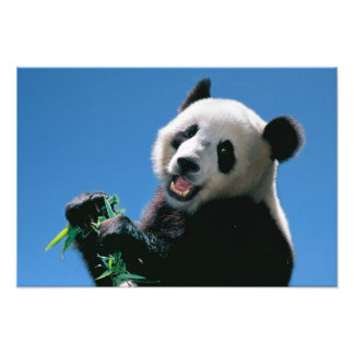 Panda eating bamboo, Wolong, Sichuan, China Photo Print