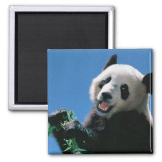 Panda eating bamboo, Wolong, Sichuan, China Square Magnet