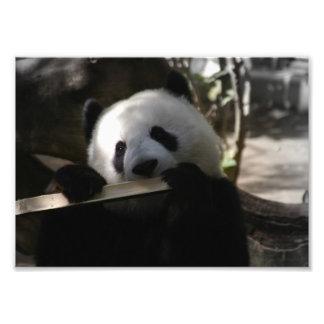 Panda Eating Photo Art