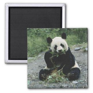 Panda Eating Square Magnet