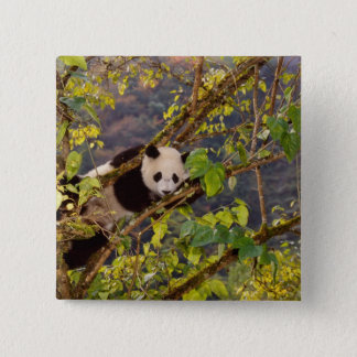 Panda on tree with autumn foliage, Wolong, 15 Cm Square Badge