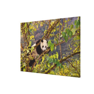 Panda on tree with autumn foliage, Wolong, Canvas Print