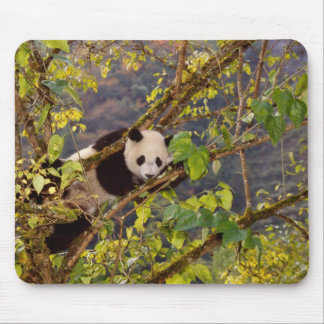 Panda on tree with autumn foliage, Wolong, Mouse Mat