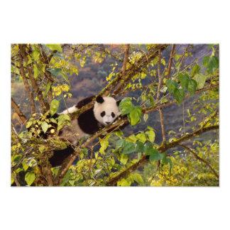 Panda on tree with autumn foliage, Wolong, Photo Print