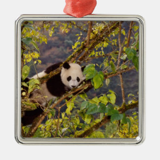Panda on tree with autumn foliage, Wolong, Silver-Colored Square Decoration