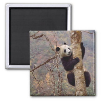 Panda on tree, Wolong, Sichuan, China Fridge Magnets