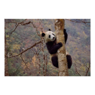 Panda on tree, Wolong, Sichuan, China Poster