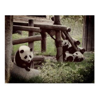 Panda Photo - Retro Style Postcard