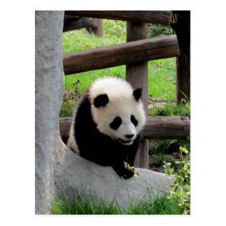 Panda Photograph Postcard