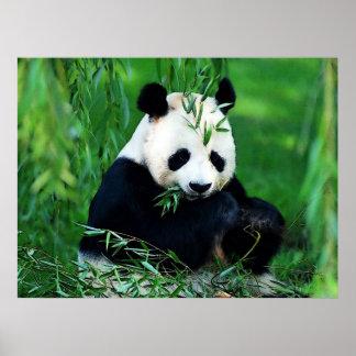 Panda Posters Prints - Panda Eating Leaves Poster