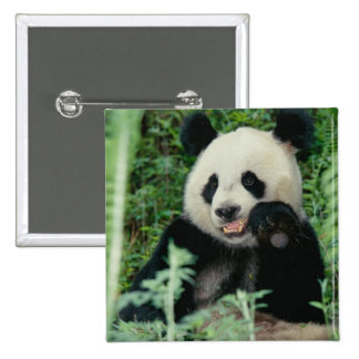 Panda the forest, Wolong, Sichuan, China 15 Cm Square Badge