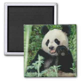 Panda the forest, Wolong, Sichuan, China Magnet