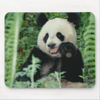 Panda the forest, Wolong, Sichuan, China Mouse Mat