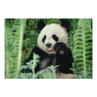 Panda the forest, Wolong, Sichuan, China Photo Print