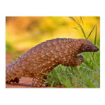 "Pangolin Or ""Scaly Anteaters"" Postcard"