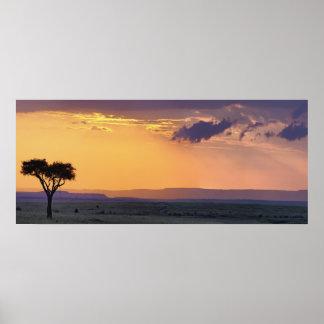 Panoramic view of single acacia tree at poster