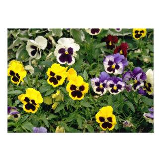 Pansies  flowers invite