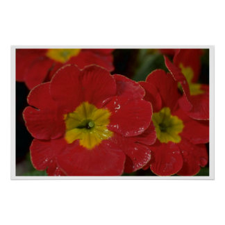 Pansies In Red Poster