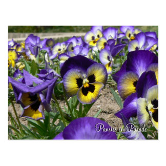 Pansies on Parade Postcard