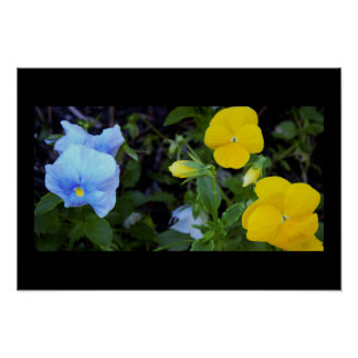 Pansies Photo Poster