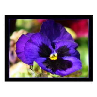 Pansy Flower Postcard