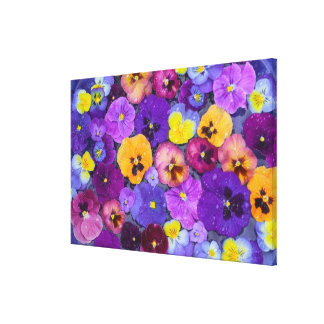 Pansy flowers floating in bird bath with dew gallery wrap canvas