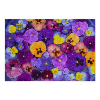 Pansy flowers floating in bird bath with dew poster
