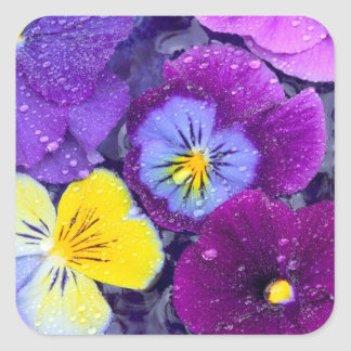 Pansy flowers floating in bird bath with dew stickers