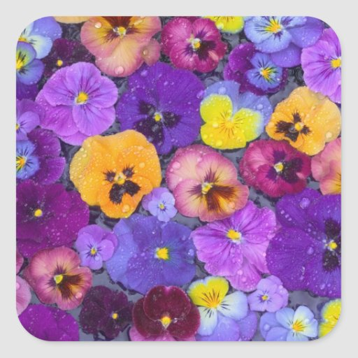 Pansy flowers floating in bird bath with dew sticker