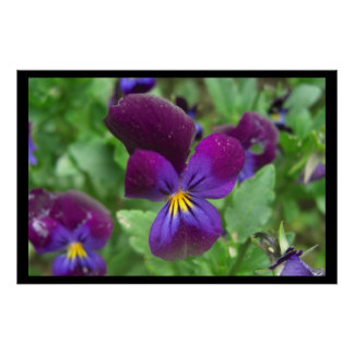 Pansy Large Posters Prints