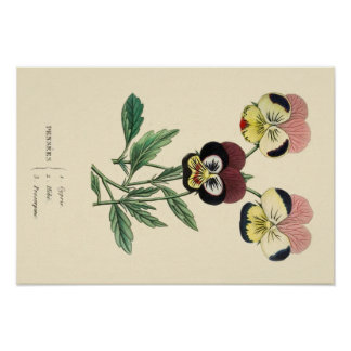 Pansy Pansies Flower Illustration Poster