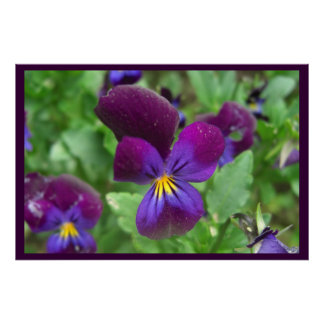 Pansy Posters