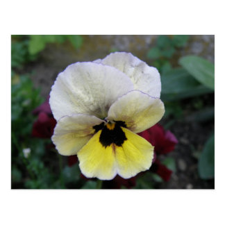 Pansy White and Yellow Postcard