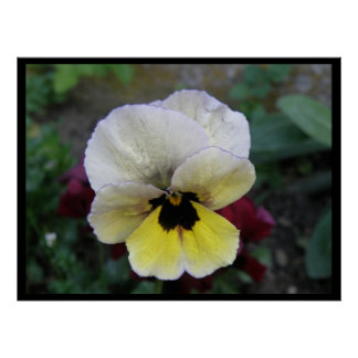 Pansy White and Yellow Print