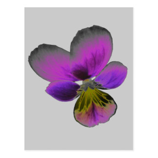 Pansy Wild Dark Purple Postcard