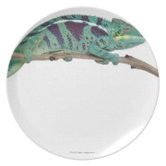 Panther Chameleon Nosy Be (Furcifer pardalis) Plate