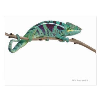 Panther Chameleon Nosy Be (Furcifer pardalis) Post Card