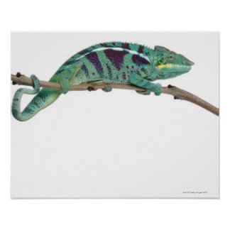 Panther Chameleon Nosy Be (Furcifer pardalis) Posters