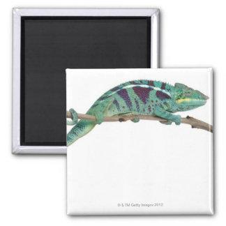Panther Chameleon Nosy Be (Furcifer pardalis) Square Magnet