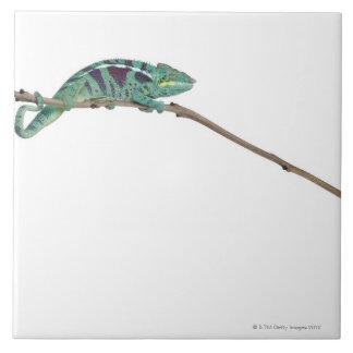 Panther Chameleon Nosy Be (Furcifer pardalis) Large Square Tile