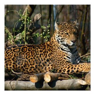 Panthera Jaguar Invitations