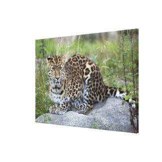 Panthera pardus orientalis canvas print