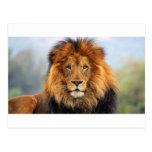 Papa Lion Post Cards