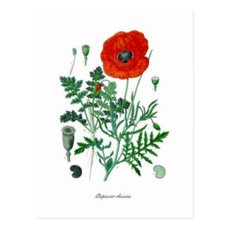 Papaver rhoeas post card