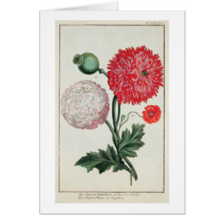Papaver somniferum and Papaver rheas engraved by G Card