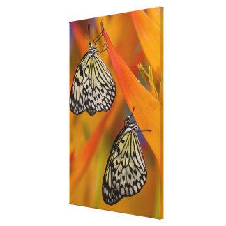 Paper Kite Butterflies (Idea leuconoe) on flower Canvas Prints