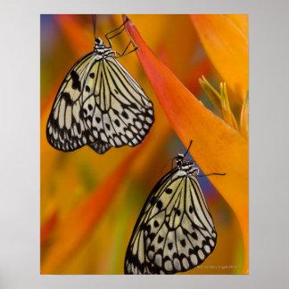 Paper Kite Butterflies (Idea leuconoe) on flower Poster