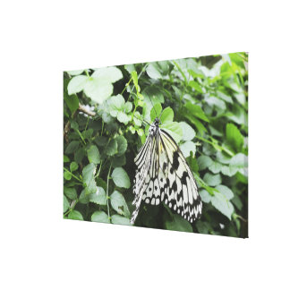 Paper Kite Butterfly (Idea leuconoe) on vine, Stretched Canvas Print